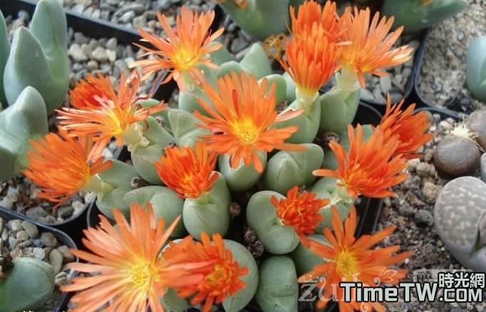 花車 Conophytum 『Hanaguruma'