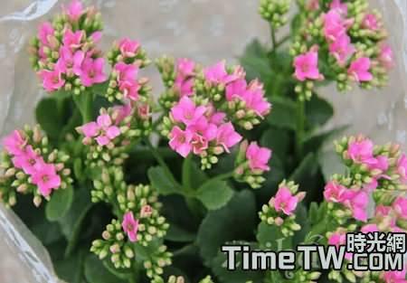 長壽花開花後怎麼處理呢?需要剪掉嗎?