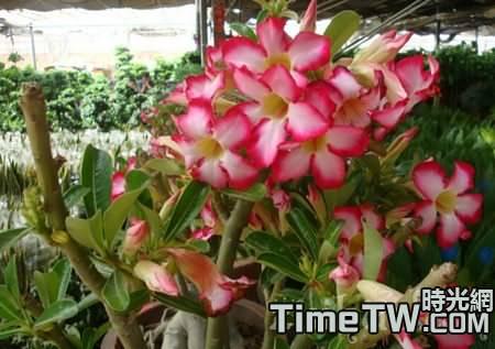 沙漠玫瑰怎樣越冬? 沙漠玫瑰的冬季養護方法