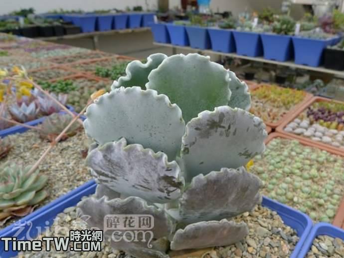 銀波錦 - Cotyledon undulata