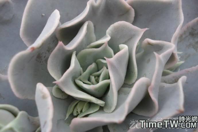 雙子座 - Echeveria Pollux