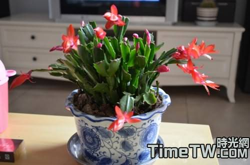 怎樣讓嫁接的蟹爪蘭當年開花