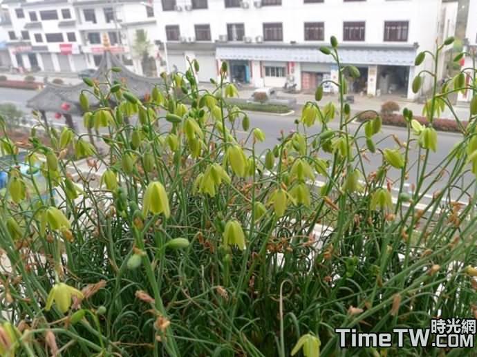 細葉彈簧草、螺旋草 Albuca circinata