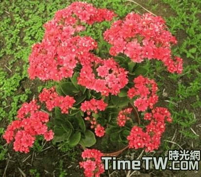 淺談長壽花的養殖方法