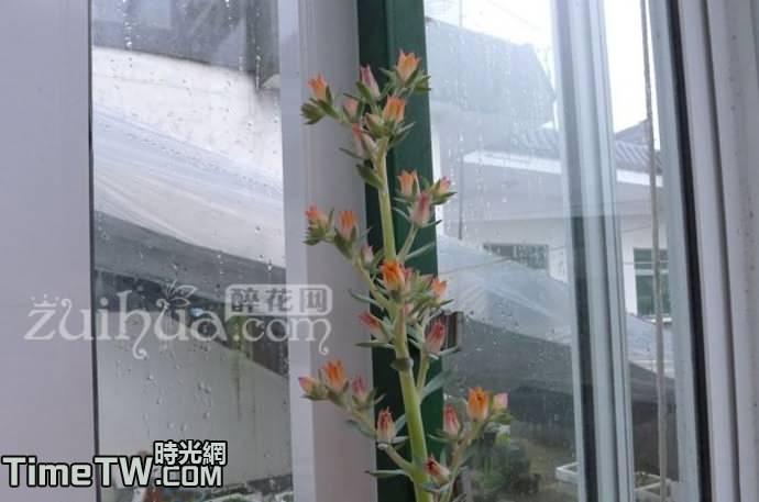 鋼葉蓮 - Echeveria subrigida