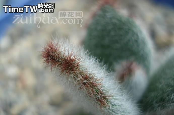 達摩兔 - Kalanchoe tomentosa f.'DARUMA'