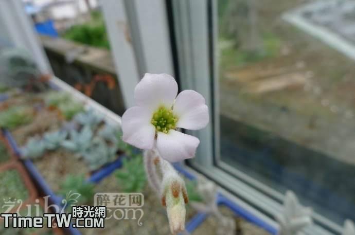 白兔耳 - Kalanchoe eriophylla
