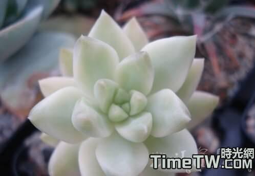 黃麗錦 Sedum adolphi f. variegata