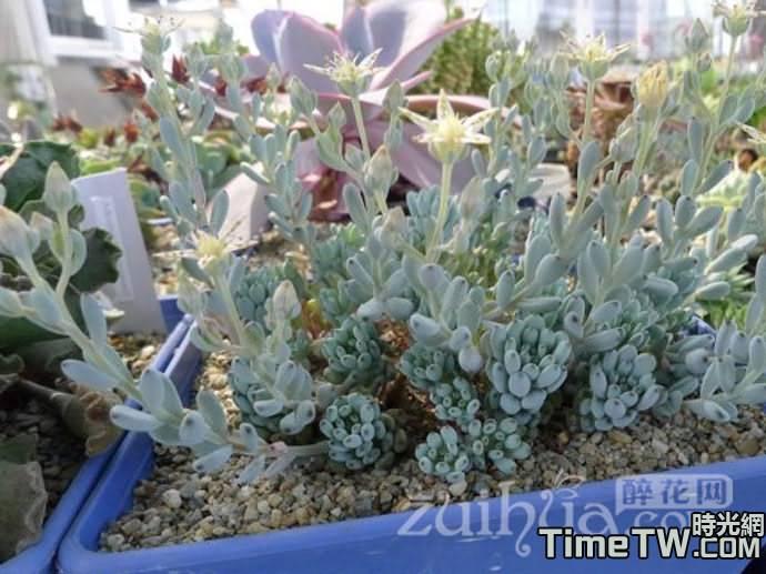 藍豆、蘭豆 - Graptopetalum pachyphyllum
