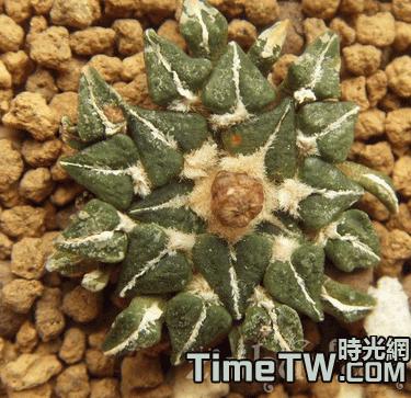 白花姬牡丹 - Ariocarpus kotschoubeyanus v. albiflorus