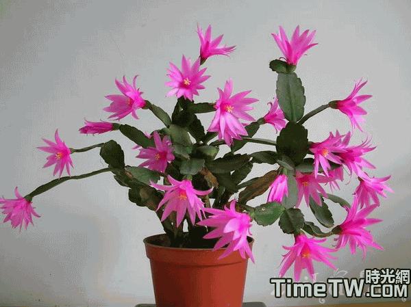 假曇花 Rhipsalidopsis gaertneri