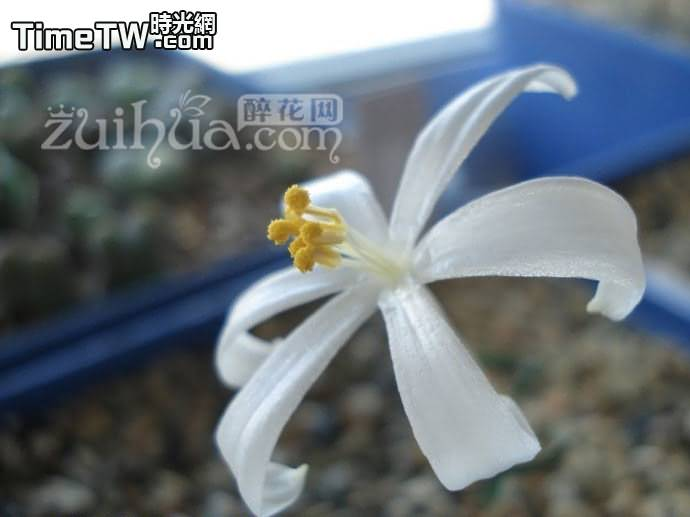 蚊香彈簧草 - Gethyllis linearis