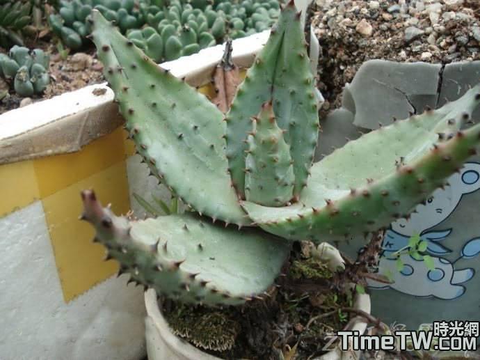 鬼切蘆薈/鬼切丸,山地蘆薈 Aloe marlothii