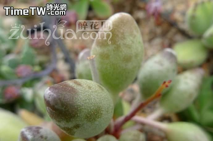 鼓槌天章 - Adromischus cristatus v. clavifolius