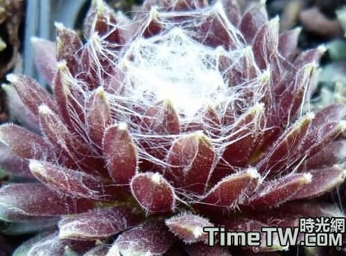 大紅卷絹 - Sempervivum arachnoideum'Rubrum'