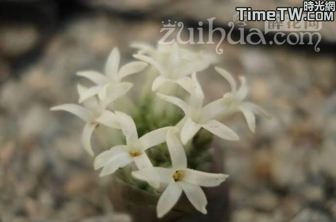 麗人 - Crassula columnaris