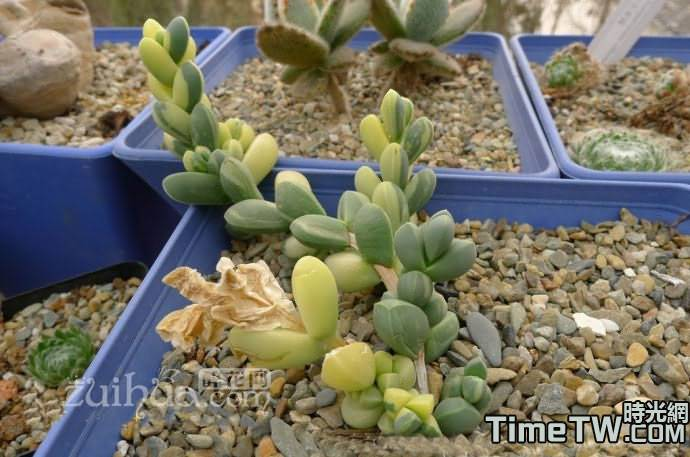 鹿角海棠錦 Astridia velutina Brocade