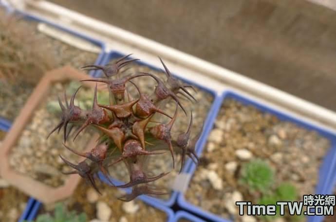墨麒麟/加那利大戟 - Euphorbia canariensis
