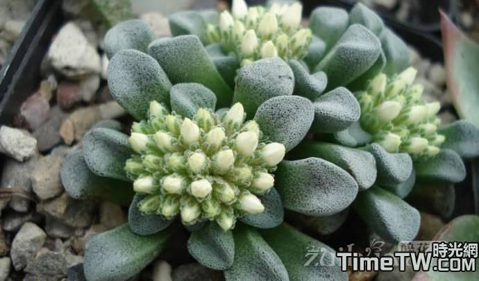 都星 - Crassula Mesembryanthemopsis