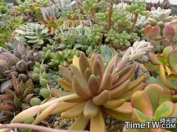 長葉蓮花 - Pachyphytum fittkaui