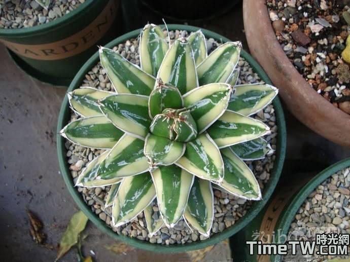 輝山 Agave victoriae reginae variegated『Kizan'