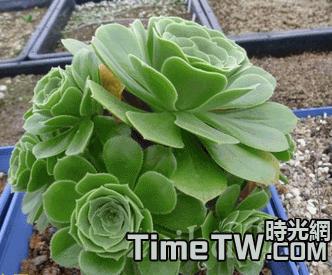 綠法師 Aeonium arboreum cv.