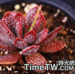 姬梅花鹿水泡 - Adromischua marianiae Antidorcatum