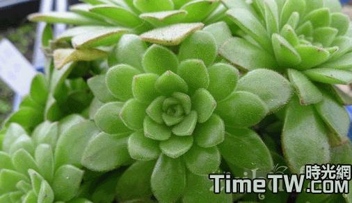 冰羽 - Aeonium nogalesii var dasyphyllum