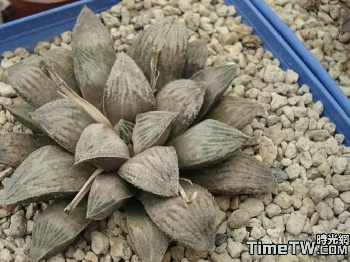銀世界 - Haworthia hybrid Ginsekai