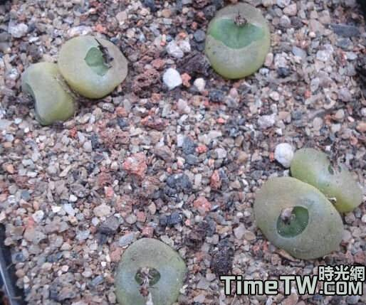 芬尼 - Conophytum phoeniceum