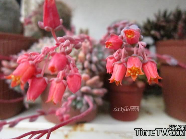 花乃井、村雨、乙女 - Echeveria amoena