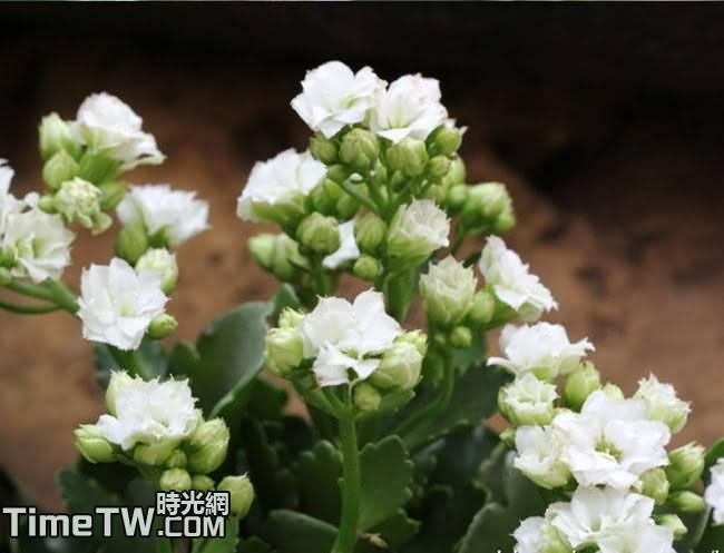 長壽花、家樂花、伽藍花 Kalanchoe blossfeldiana