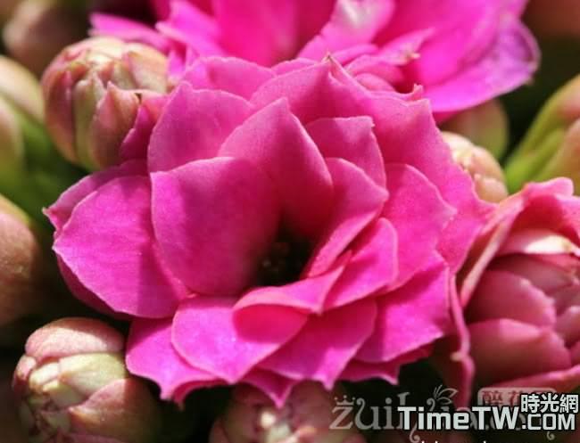 長壽花、家樂花、伽藍花 - Kalanchoe blossfeldiana