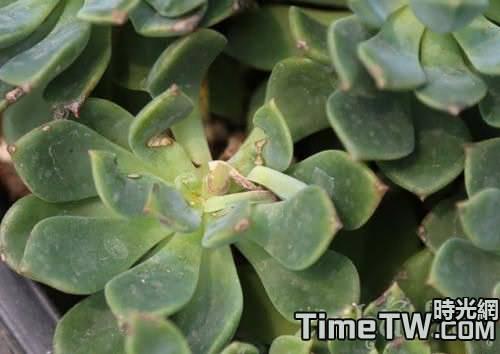 多肉植物如何戰勝玄灰蝶