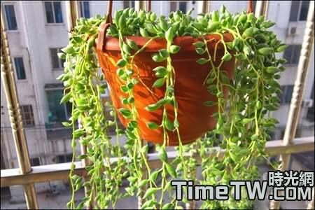 珍珠吊蘭的養殖方法