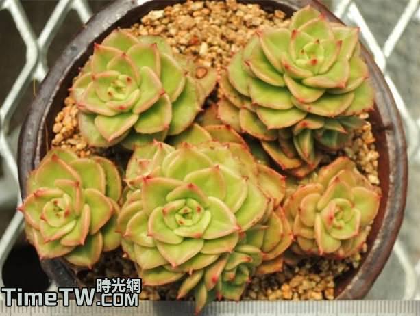 蠟牡丹 - Echeveria agavoides x Sedum cuspidatum