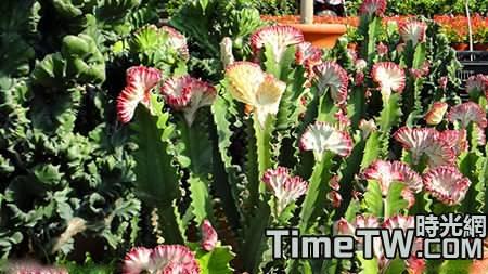 仙人掌類植物的種植養護