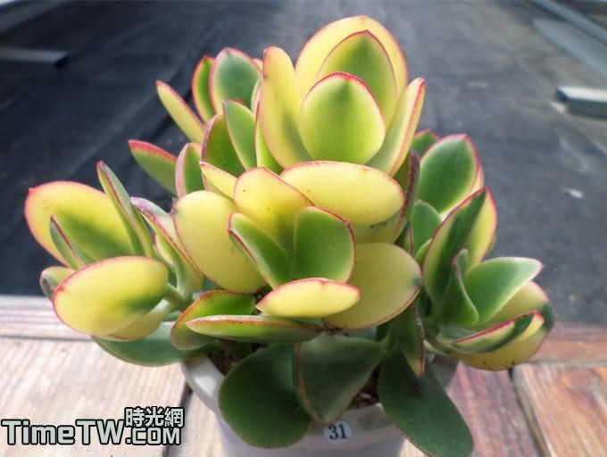 落日之雁/三色花月殿 Crassula obliqua 'Tricolor Jade'