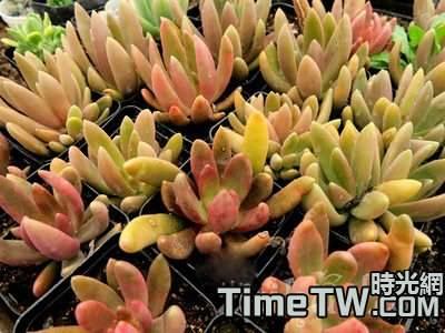 多肉植物長葉蓮花的養殖方法