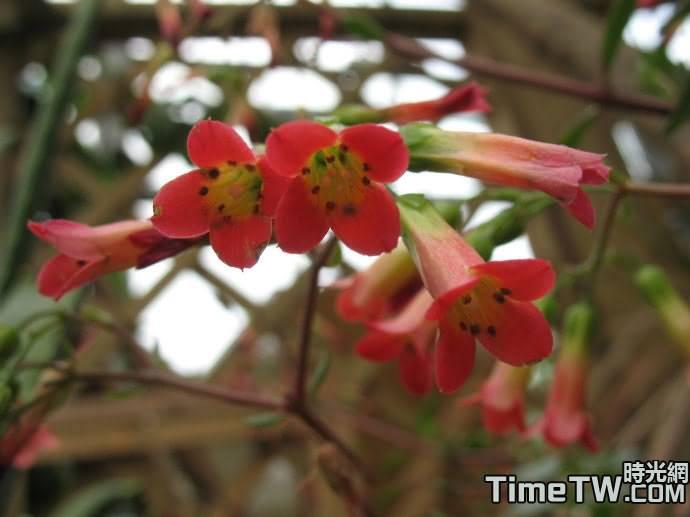 宮燈長壽花、珍珠風鈴、紅提燈、蔓生吊鐘海棠 kalanchoe manginii