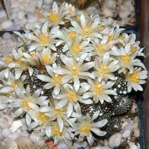韋達蔓 Blossfeldia liliputana