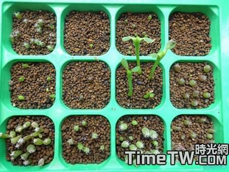 多肉植物種子怎麼播種