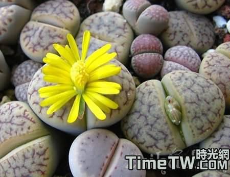 生石花播種過程全記錄