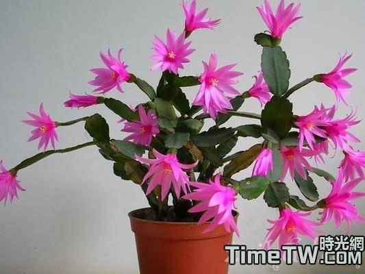 多肉植物蟹爪蘭、仙人指、假曇花和落花之舞的區別
