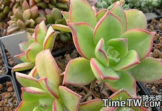 多肉植物紅緣蓮花掌具體該如何養