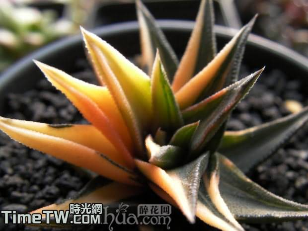 高嶺之花、金十二卷、松之霜錦 - Haworthia  radula  f.variegata