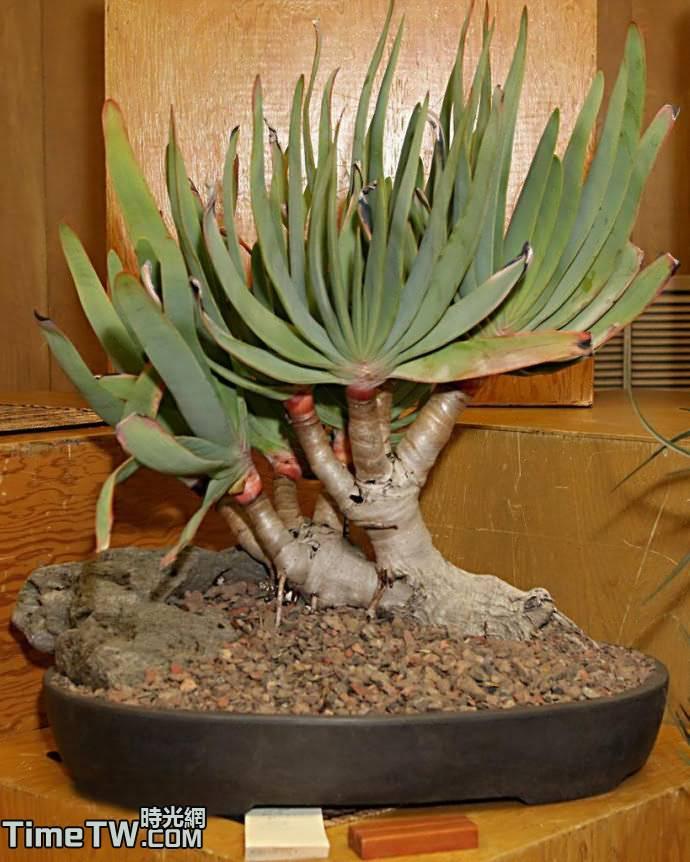 乙姬之舞扇 - Aloe plicatilis