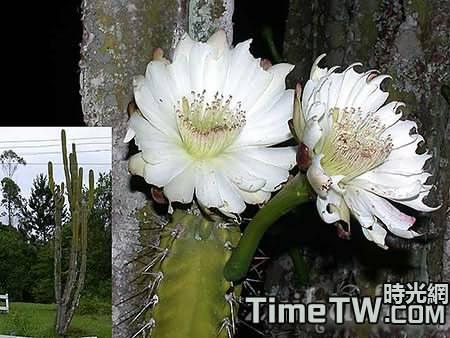 牙買加天輪柱 - Cereus jamacaru
