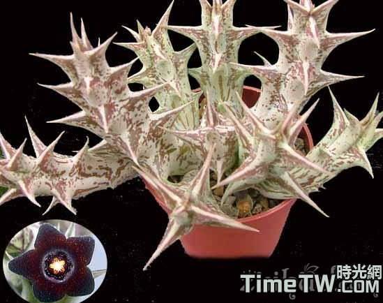 紫龍角 Caralluma hesperidum