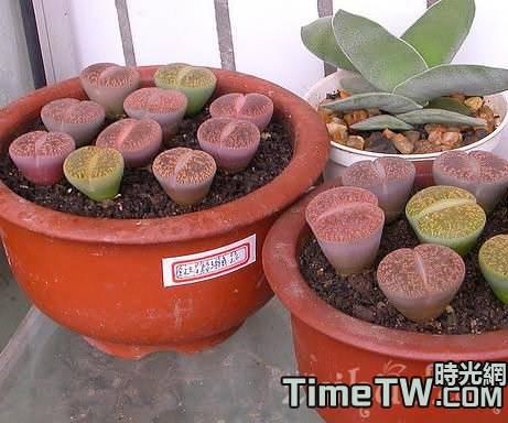 多肉植物生石花的具體養護方法介紹